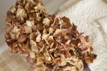 hortensia-fleurs-sechees-naturel-nature